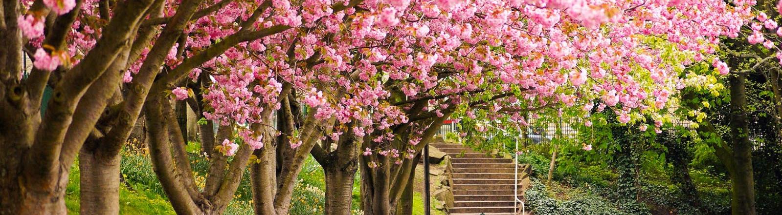 foto-lente-wallpapers-hd-lente-achtergronden-09-roze-bloesem-aan-boom-1599x441