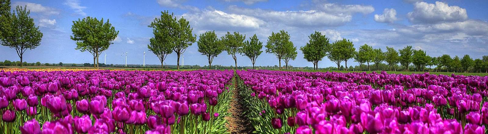 foto-veld-vol-hollandse-tulpen-achtergrond-lente-wallpaper-1599x441
